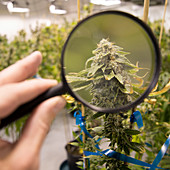 Denver, Colorado- Looking through a magnification glass inspecting the trichomes of a medical marijuana plant in Rx Green Solutions grow facility