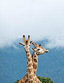 Giraffes in Northern California preserve for breeding and preservation of African animals Located in Point Arena, California, the animals range from critically endangered to endangered and include various species of zebra, giraffe, and antelope