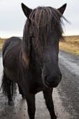 'Icelandic horse walking along a road; Iceland'