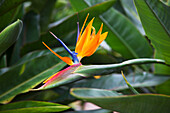 'Bird of Paradise Flower; Maui, Hawaii, United States of America'