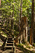 Stairs on the Gavin Hill Trail in the Boreal Rainforest, Sitka, Southeast Alaska, USA, Summer