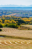 'Rolling hills of interesting patterned harvest lines of cut grain reflecting sun light with autumn colors in the trees in the background and silhouette of mountains in the distance; Alberta, Canada'