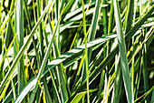 'An ornamental grass provides a restful garden scape on the grounds of the University of Alberta hospital; Edmonton, Alberta, Canada'
