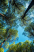 'The tops of pine trees against a blue sky; Cala Gonone, Sardinia, Italy'