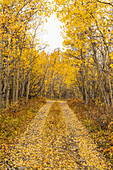 Autumn scenic of a dirt road covered in fallen fall colored Aspen leaves, Yukon Territory, Canada