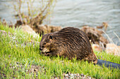 'A beaver grazes along the roadside in Yellowstone National Park; Wyoming, United States of America'