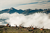 'A group of bull elk (Cervus canadensis) rest in a rocky alpine meadow with Long's Peak in the background in Rocky Mountain National Park; Colorado, United States of America'