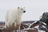 'Polar bear (ursus maritimus) along the Hudson Bay coastline waiting for the bay to freeze over; Churchill, Manitoba, Canada'