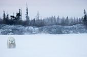 'Polar bear (ursus maritimus) walking in a blizzard; Churchill, Manitoba, Canada'