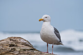 'A Western Gull (Larus occidentalis) rests on driftwood; Seaside, Oregon, United States of America'