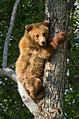 Brown bear (Ursus arctos) yearling cub climbing down from balsam poplar tree (Populus balsamifera) in summer, Katmai National Park and Preserve, Southwest Alaska