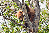 Brown bear (Ursus arctos) yearling cub, abandoned by mother, resting in cottonwood tree (Populus balsamifera), Katmai National Park and Preserve, Southwest Alaska