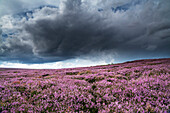 'Pink flowers blossoming in a field, North Yorkshire Moors; North Yorkshire, England'