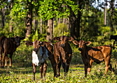 'Free range cow and calves; Gaitor, Florida, United States of America'