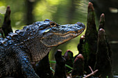'Alligator in the cypress knees; Silver Springs, Florida, United States of America'