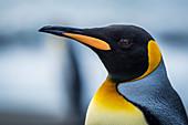 'Close up of King Penguin (Aptenodytes patagonicus); Antarctic'