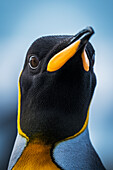 'Close up of King Penguin (Aptenodytes patagonicus) with wide-eyed stare; Antarctic'