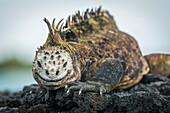 'Marine iguana (Amblyrhynchus cristatus) on grey rocks beside sea; Galapagos Islands, Ecuador'