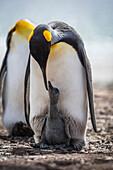 'King penguin (Aptenodytes patagonicus) preening grey chick between feet; Antarctica'