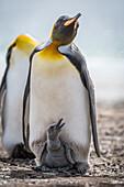 'King penguin (Aptenodytes patagonicus) with grey chick between feet; Antarctica'