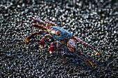 'Sally Lightfoot crab (Grapsus grapsus) crawling across wet rock; Galapagos Islands, Ecuador'