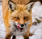 'Red fox (Vulpes vulpes) mother being playful; Montreal, Quebec, Canada'