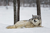 'Grey wolf (Canis lupus) showing submission behaviour; Montebello, Quebec, Canada'