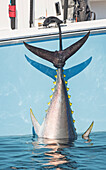 'Blue fin tuna hanging from the boat off the coast of Cape Cod; Massachusetts, United States of America'