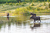 Three moose forage in the evening in a pond at Kincaid Park, Anchorage, Alaska, spring