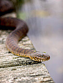 'Water snake on the move on the dock; Oka, Quebec, Canada'