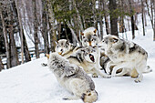 'Grey wolves (Canis lupus) demonstrating hierarchy; Montebello, Quebec, Canada'