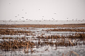 'Canadian Geese (Branta canadensis) flying up from reeds in a cloudy skyline; Cumberland House, Saskatchewan, Canada'