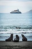 'Three Antarctic fur seals (Aptenodytes patagonicus) with ship behind; Antarctica'