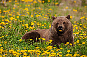 A Brown bear forages on dandelions, Tatshenshini-Alsek Park, accessible from the Haines to Haines Junction section of the Alaska Highway, Summer, Yukon, Canada.