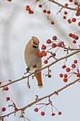 Close up of a Bohemian Waxwing with mouth open feeding on Mountain Ash berries in Anchorage, Southcentral Alaska, winter