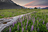 Field of Arctic Lupine near the Turnagain Arm south of Girdwood, Alaska.