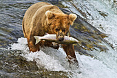 Brown bear (Ursus arctos) carrying sockeye salmon in mouth at top of Brooks Falls, Katmai National Park and Preserve, Southwest Alaska