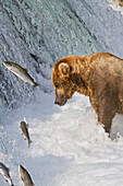 Brown bear (Ursus arctos) standing in rapids below Brooks Falls while looking at a jumping Sockeye salmon, Katmai National Park and Preserve, Southwest Alaska