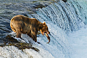 Brown bear (Ursus arctos) about to catch a jumping sockeye salmon (Oncorhynchus nerka) at Brooks Falls, Katmai National Park and Preserve, Southwest Alaska
