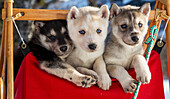 Close up of Siberian Husky puppies in a small dog sled, Alaska