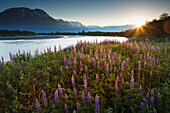 Summer landscape of Lupine flowers along Placer River with Chugach Mountains in background at sunrise, Alaska