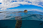 'A green sea turtle (Chelonia mydas), an endangered species, lifts it's head for a breath at the surface; Island of Maui, Hawaii, United States of America'