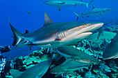 'Grey reef sharks (Carcharhinus amblyrhynchos) at a controled feeding off the island of Yap; Yap, Micronesia'