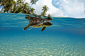 'A split view of a newly hatched baby green sea turtle (Chelonia mydas), an endangered species, just entering the ocean off the island of Yap; Yap, Micronesia'