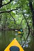 'A kayak tour through a mangrove forest off the island of Yap; Yap, Micronesia'