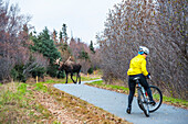 A female cyclist quickly turns her bike around after encountering a bull moose in rut walking towards her on the Tony Knowels Bike Trail in Kincaid Park, Anchorage, Alaska, autumn