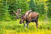 Bull moose in velvet at Kincaid Park on a sunny evening, Anchorage, Alaska, summer