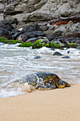 'Green sea turtle (Chelonia mydas), an endangered species, makes it's way from the Pacific ocean onto the beach; Maui, Hawaii, United States of America'
