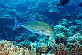 'Bluefin trevally or jack (Caranx melampygus); Hawaii, United States of America'