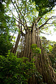 The Curtain Fig Tree is one of the attractions on the tropical highland of the Atherton Tableland, Atherton Tablelands, Queensland